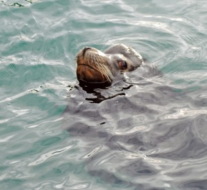 A hungry sea lion.