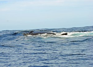 The whales mainly travel in pairs. Male, female....sometimes 2 males competing for 1 female.