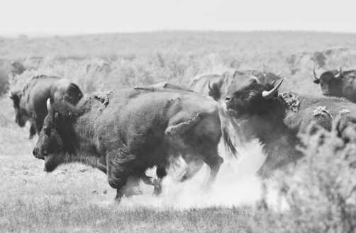 buffalob&w