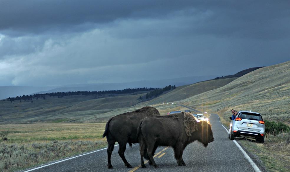 buffaloinroad