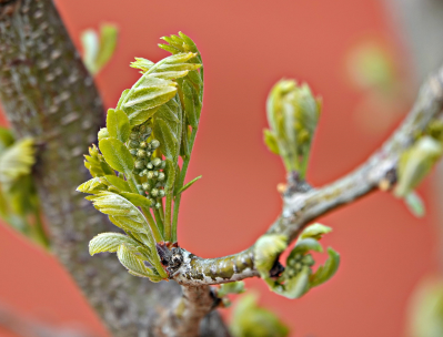 leafbuds
