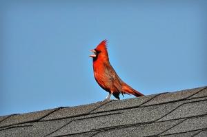 cardinalonroof